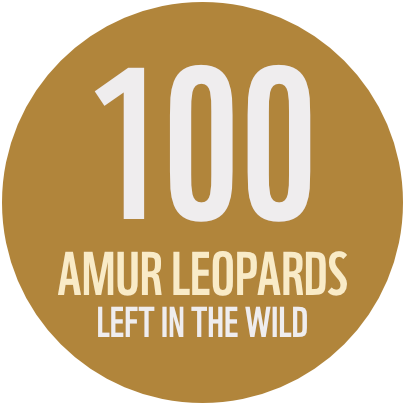 100 Amur Leopards Left in the wild