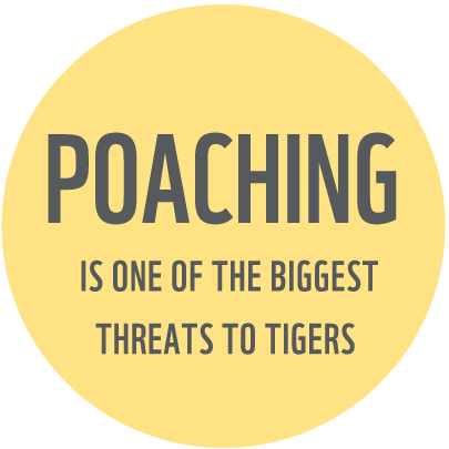 Tiger poaching fact