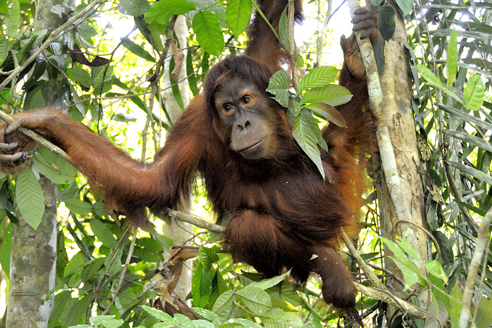 An orang-utan's arms are longer than its legs, reaching its ankles when it stands.