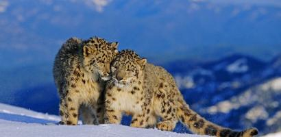 Snow Leopard Pair In Alpine habitat