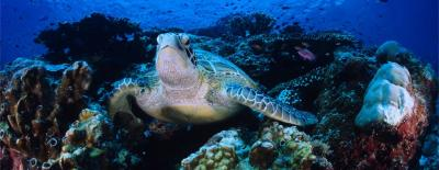 Turtle in a coral reef