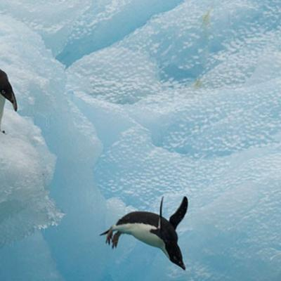 Penguin jumping off icy cliff