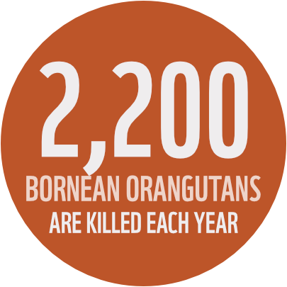 2,200 Bornean Orangutans are killed each year