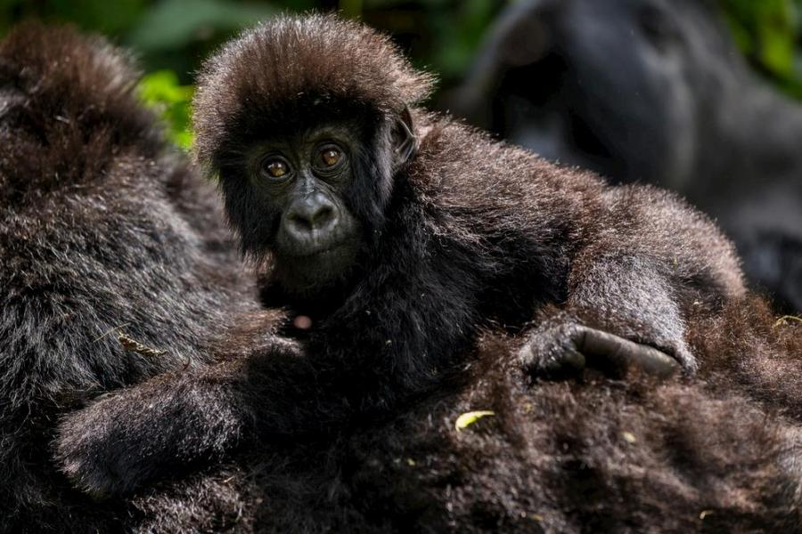 Gorilla Baby with mother
