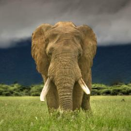 Elephant in field
