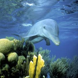 Dolphin by Coral