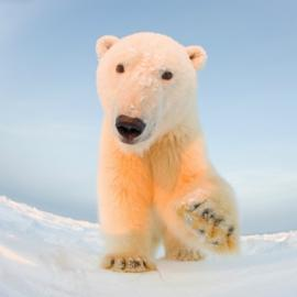 Polar Bear raising a paw